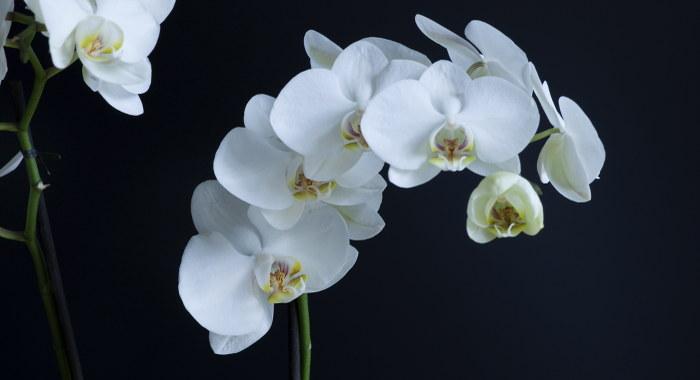 コチョウラン属 - 空気清浄効果のある植物