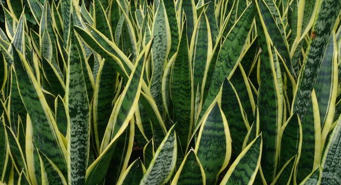 サンセベリア - 空気清浄効果のある植物