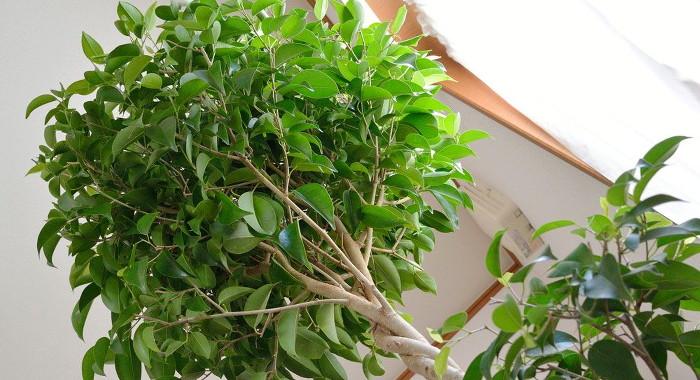 ベンジャミン - 空気清浄効果のある植物