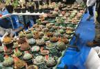 春の「サボテン・多肉植物ビッグバザール」2017