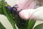 ヒヤシンスの花がら摘み