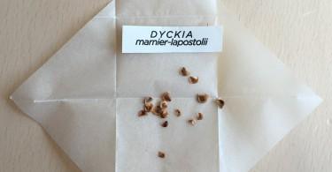 実生を始めよう Dyckia lapostollei の種子