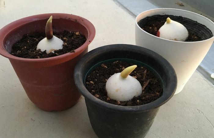 富山産 チューリップ 植え付け