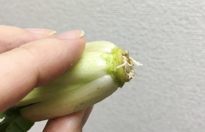 再生野菜 小松菜 発根
