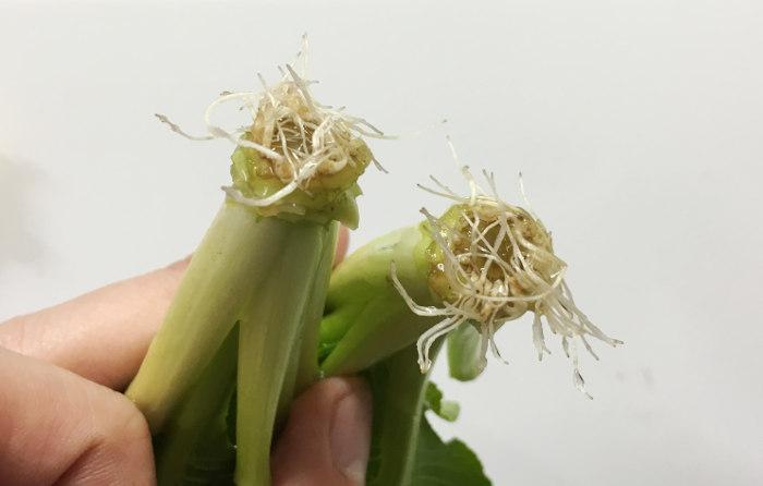 再生野菜 小松菜