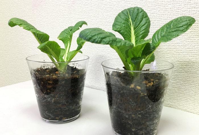 リボーンベジタブル 小松菜