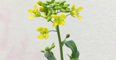 リボーンベジタブル 小松菜の花が咲くまで