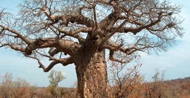 アフリカでバオバブが原因不明の大量枯死