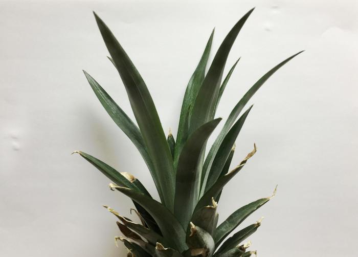 パイナップルの再生栽培
