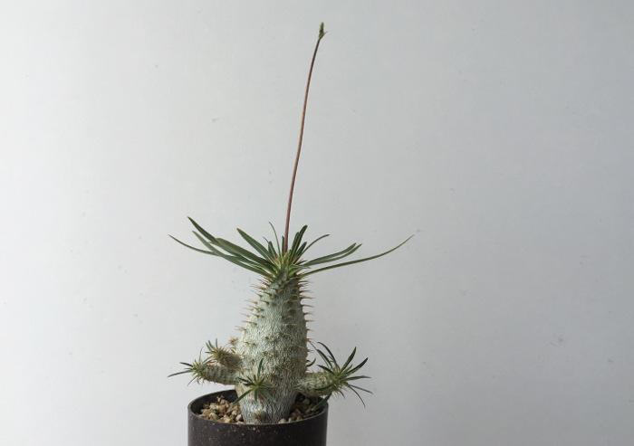 パキポディウム・グラキリスの実生記録 花芽の形成