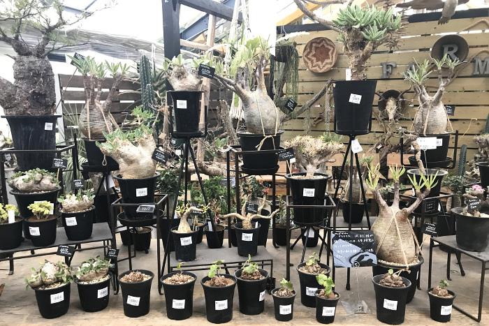 塊根植物 パキポディウム