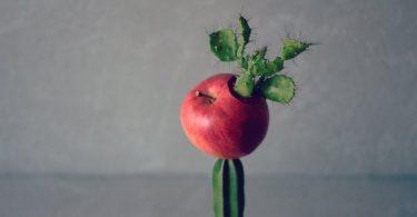 林檎のサボテン接木プランター