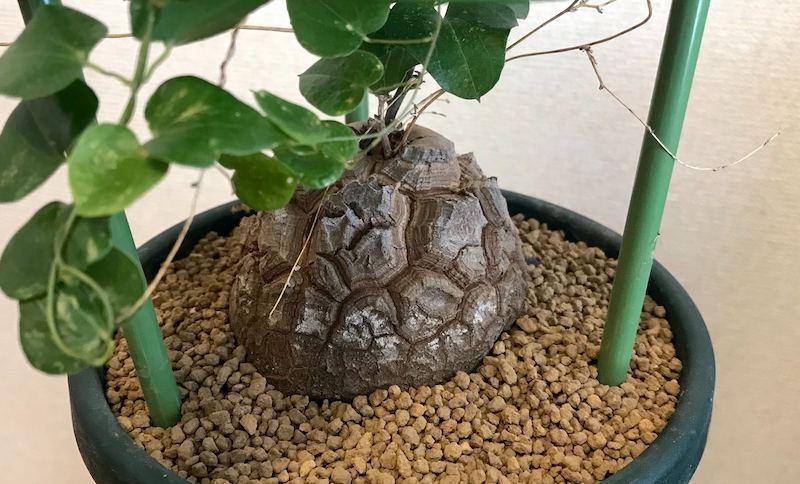亀甲竜 赤玉土
