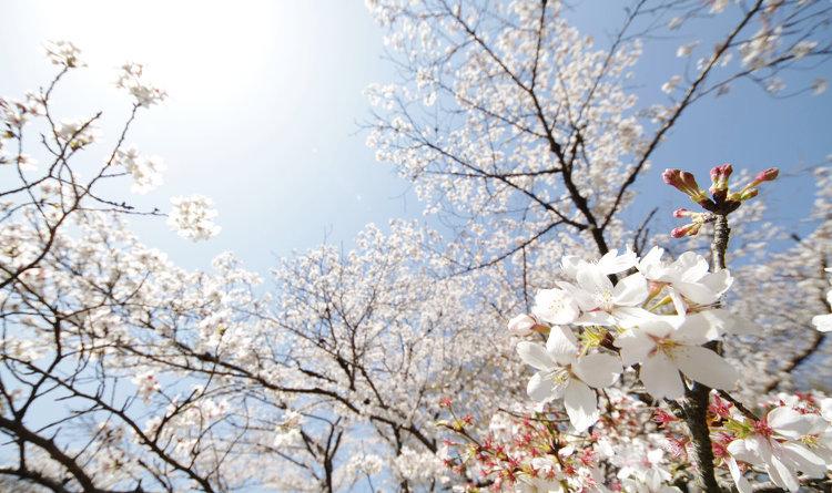 2017年の桜の開花予想