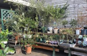 オリーブの木 ヴェルデステ