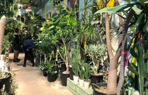 大株の観葉植物、サボテン